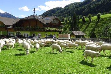 Der Schafabtrieb im September im Berghotel Alpenfrieden im Ahrntal.