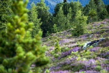 Pfifferlinge im Hotel Ahrntal: Im Alpenfrieden gibt es in der Umgebung viele Kräuter und Pilze.